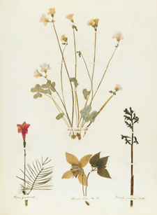 Page from Emily Dickinson's Herbarium: A Facsimile Edition, by Emily Dickinson, from Harvard University Press